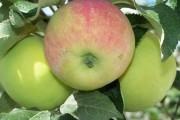 Немного о Яблочном спасе